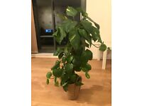 Golden pothos plant with moss pole