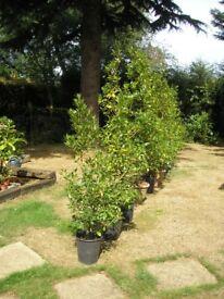 Bay laurel trees