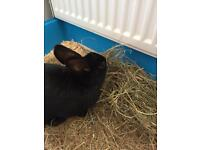 Male rabbit with indoor cage bedding and food SOLD SUBJECT TO COLLECTION