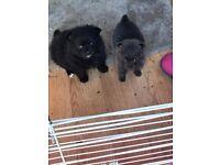 Miniature Pomeranian puppies