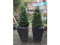Fake box trees in fibreglass pots