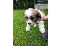 Shichon pups (shih tzu/bichon frise)