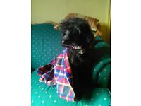 Toy Poodle KC reg
