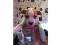 American Bulldog X Puppies | REDUCED