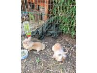 Beautiful Baby lionhead rabbits looking for good homes