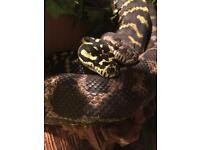 2 x Carpet Pythons & 4ft arboreal set up for sale