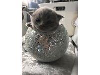 Blue British shorthair kittens for sale!