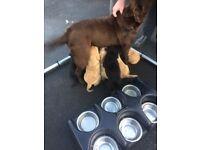 Labrador puppies ready now !!!