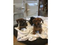 Stunning mini smooth haired dachshunds