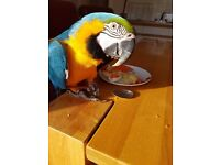Blue and gold male 18 month macaw.