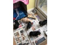 Morkie pups 3 girls 2 Boys ready for new homes 18th january