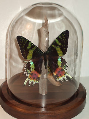 Sunset Dome (Butterfly Dome: Sunset Moth (Chrysiridia rhipheus))