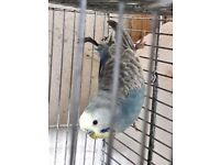 Budgie Nice and Healthy