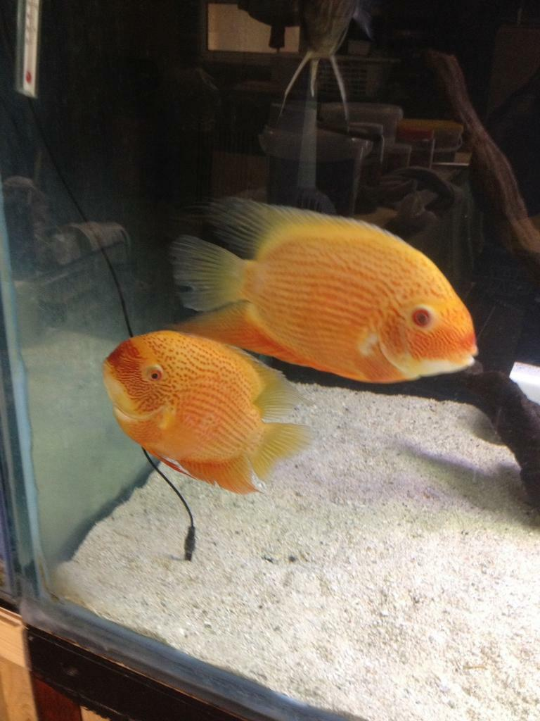 Red spotted Severums