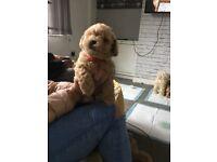 8 Week Poochon - Bichon Frise X Poodle