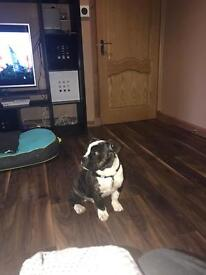 Boston x Frenchie -URGENT NEEDS RE-homed now
