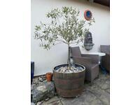 Large oak pots