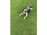 Staffy for sale £500