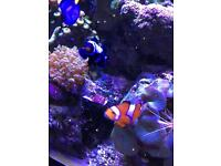 Pair of clowns and anemone