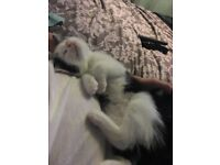 2 beautiful female kittens must go togther