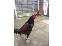 Male red pure aseel chicken