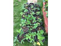 Strawberry plants in big pots