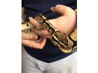 Pasteal royal python