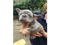 Lilac and Tan French bulldog puppy kc registered outstanding quality