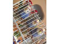 3 BUDGIES FOR SALE