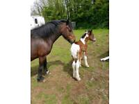 13'3 welsh cob mare with foal at foot.