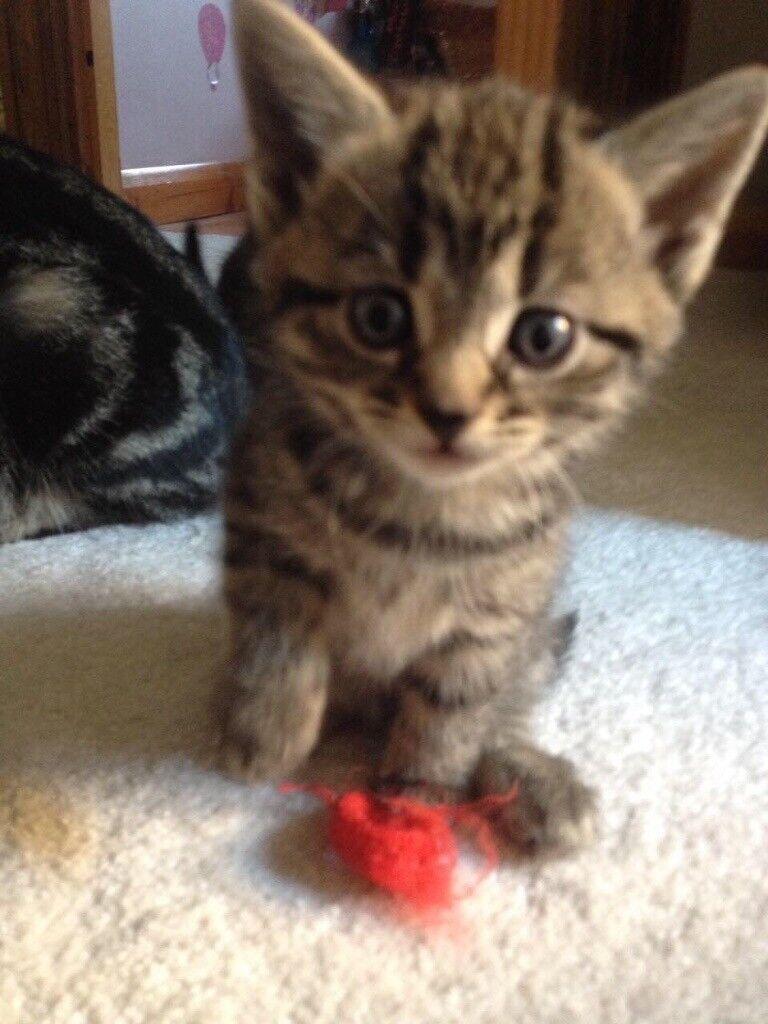 Tabby Kittens for sale in Swanley Kent
