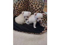 Two pure white chihuahua boys for sale
