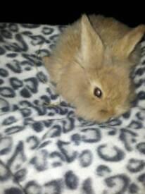 Grey mini loop baby bunnie