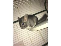 Female chinchilla 1 year old (includes cage)