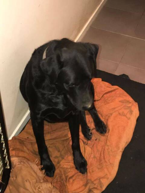 Lebradore Dog Free to good home | Dogs & Puppies | Gumtree