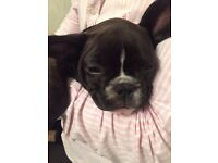 CUTEST CHUNKY CHOCOLATE FRENCH BULLDOG FEMALE PUPPIES !