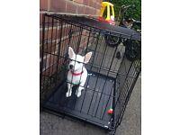 Puppy chuawa cross jack Russell 16 wk old