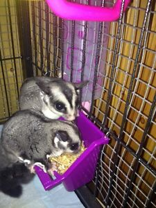 Sugar gliders for rehoming