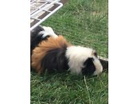 Two male Guinea pigs looking for their forever home