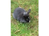 Male rabbit 4 months old £10 to a good home
