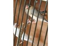 4 Jarva Sparrows