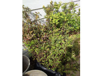Spiraea Japonica / Goldflame/ Restructured garden/planted by builder/new build 3 plants £5 each