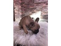 French bulldog puppy fawn gene chocolate lilac and blue