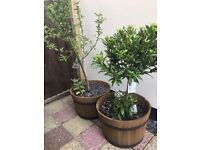 2 x Garden tubs with trees