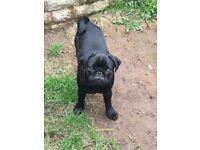 Stunning KC Registered Black Pug Puppy for Sale (Female)