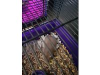 female chocolate hamster plus cage and accessories
