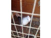 Fancy pigeons for sale