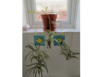 Lovely spider plant with babies included pot