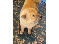 Cute CHOW-CHOW girl 🐕 5 months old