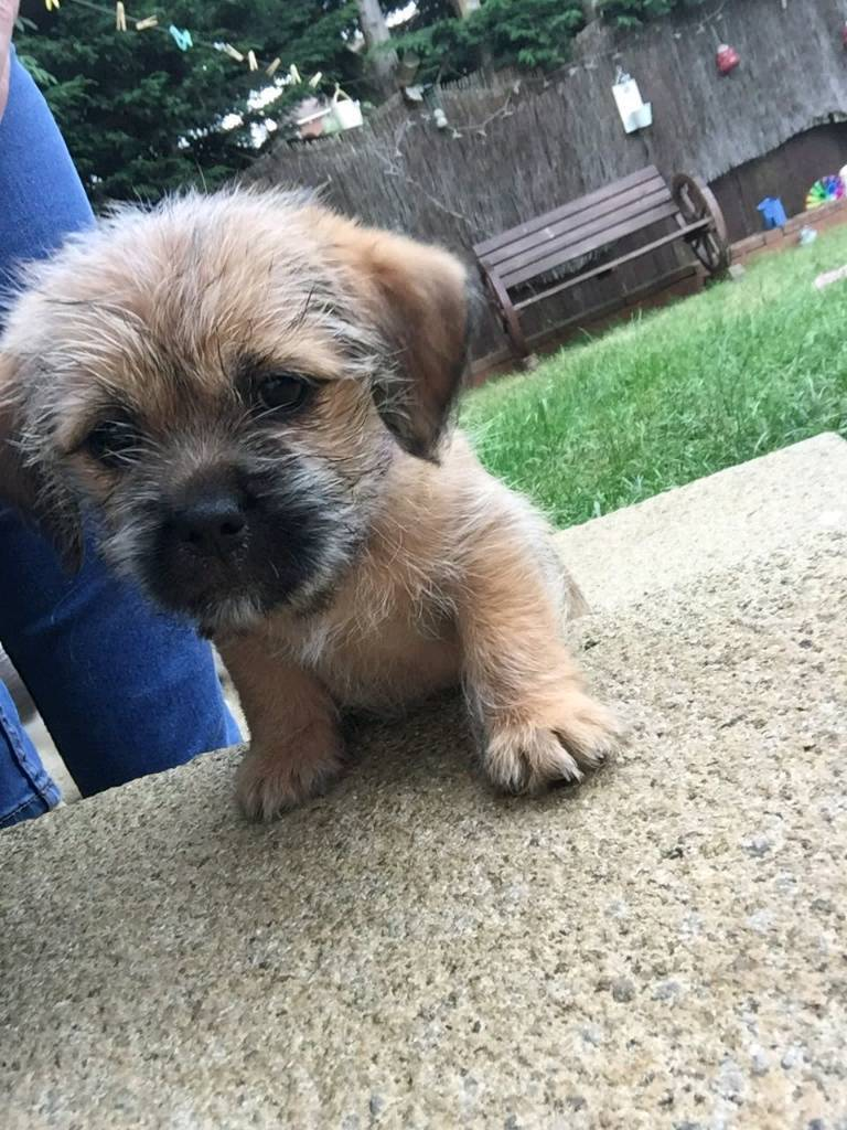 Shih Tzu cross puppies for sale. | in Luton, Bedfordshire | Gumtree | Border Terrier Puppies In Bedfordshire